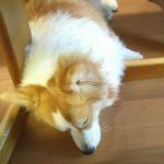 成犬トレーニング コーギー